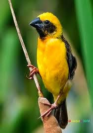 Foto Burung Manyar Terbaik