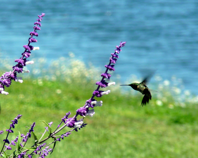 Hummingbird on Salvia leucantha by Jill Staake