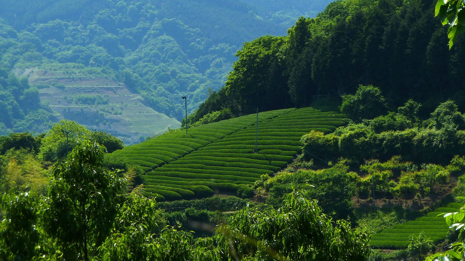 Beautiful green tea gardens hd wallpapers hd nature for Beautiful garden images hd