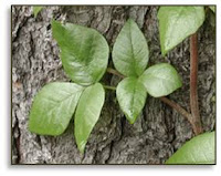 Identifying poison ivy