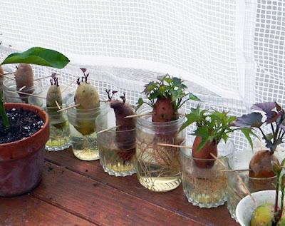 florida survival gardening survival plant profile sweet potatoes. Black Bedroom Furniture Sets. Home Design Ideas