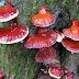Pencegahan dan Pengendalian Penyakit Busuk Pangkal karena Jamur Genoderma pada Kelapa Sawit