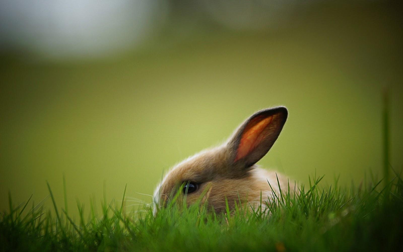 Fondo de Pantalla Animales Conejo | Imagenes ZT - Descarga