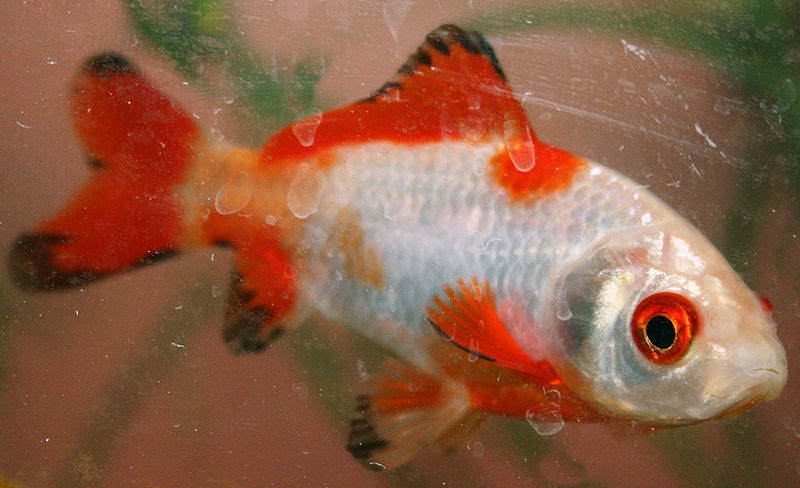 Red and white comet goldfish - photo#10