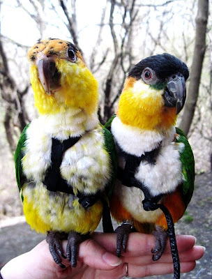 caique parrots outside wearing aviator harness