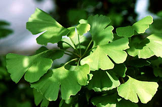 Ginkgo biloba, gingko or Maidenhair Tree