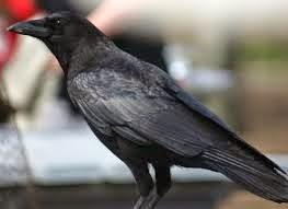 Burung Gagak dipercaya bisa melihat hantu