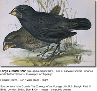 Galapagos Ground Finch Illustration
