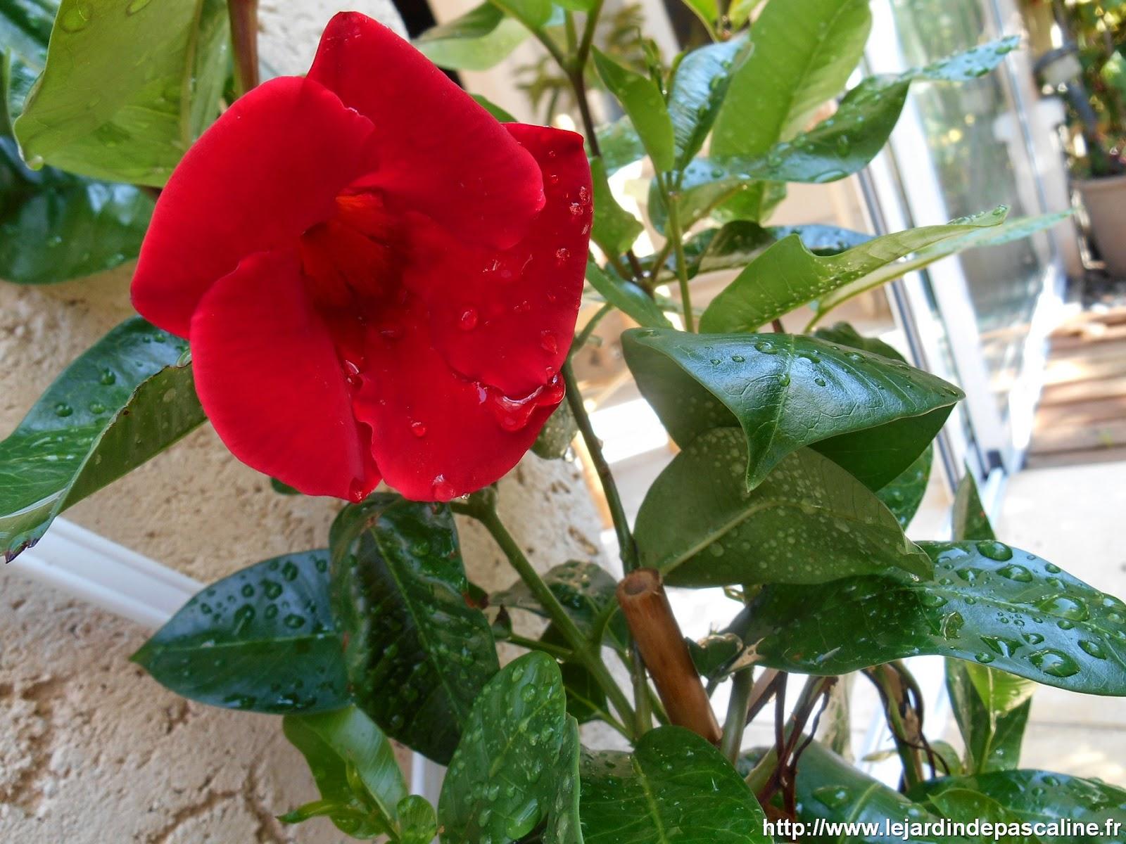 LE JARDIN DE PASCALINE: Sundaville encore en fleur en octobre !!!
