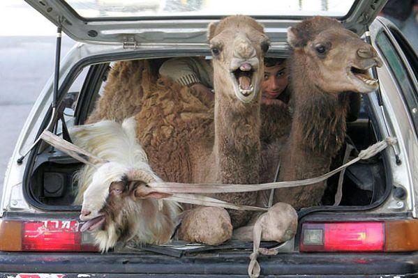 [Image: Funny+Camels+In+Car.jpg]