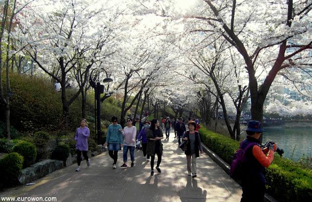 Coreanos paseando bajo las flores de cerezo