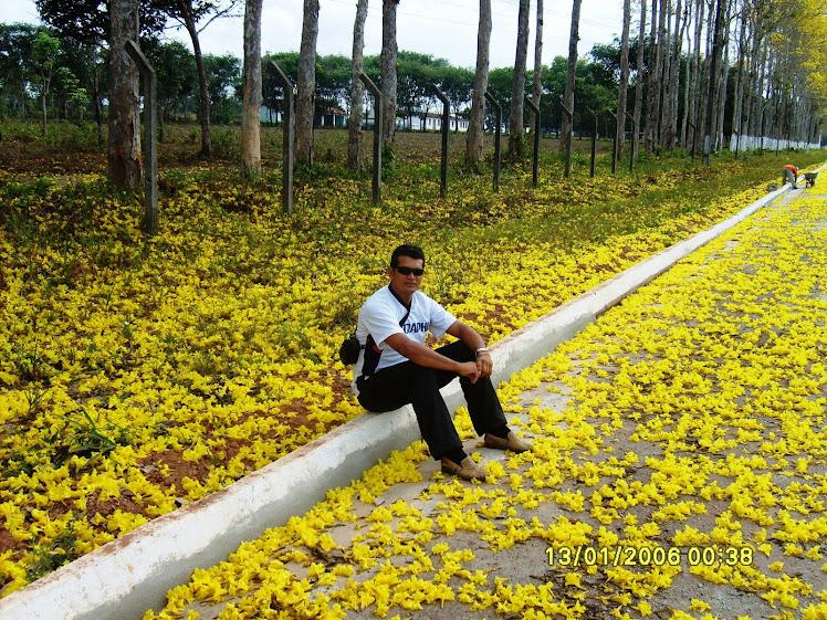 Florada dos Ipês