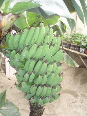 Как посадить и вырастить банан в домашних условиях 70