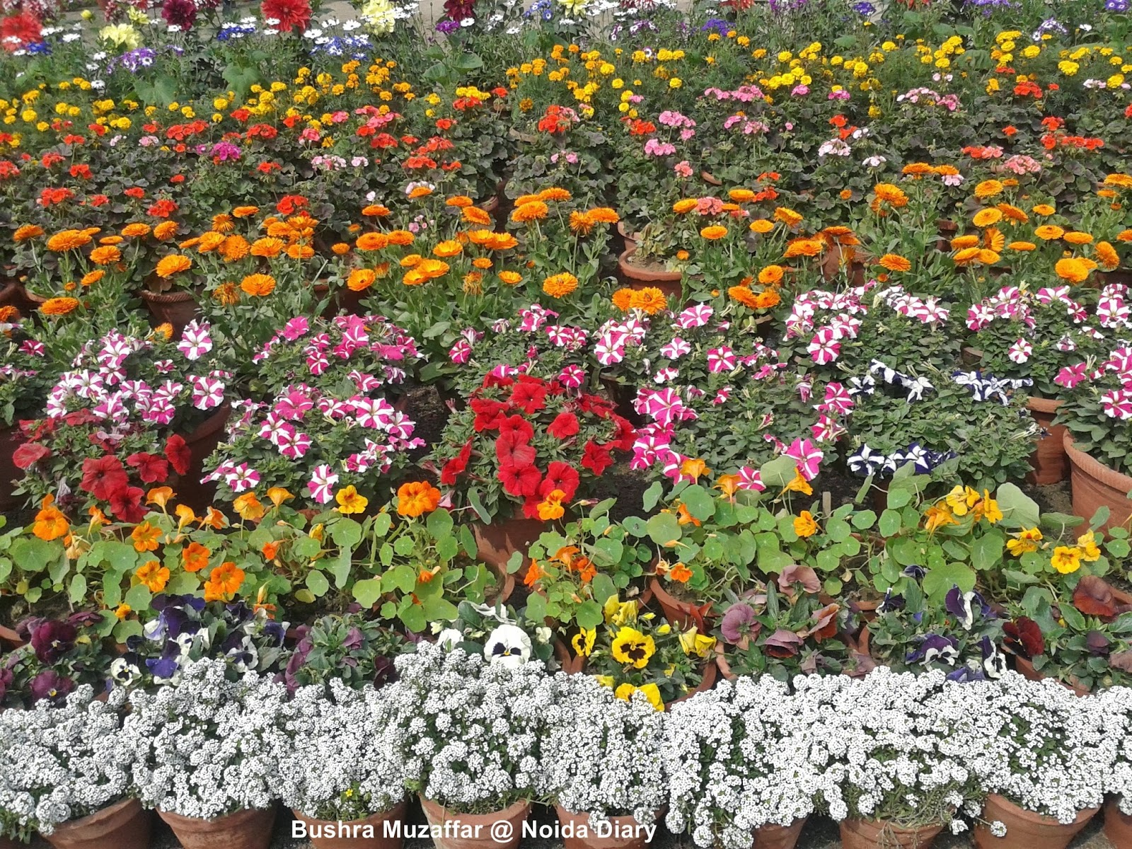 28th Noida Flower Show - 'Vasant Utsav' 2014 at Noida Stadium