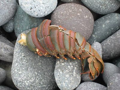 Crayfish in Sanxiatai Coast Taitung