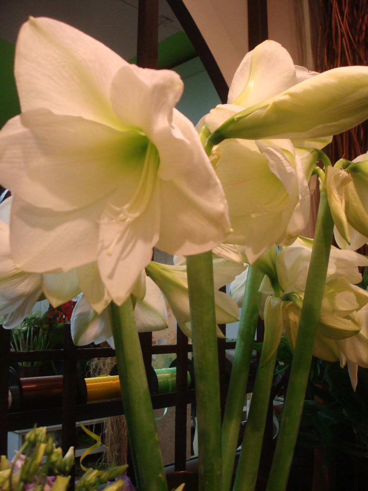 Fleuriste isabelle feuvrier l 39 amaryllis mont blanc for Amaryllis fleuriste