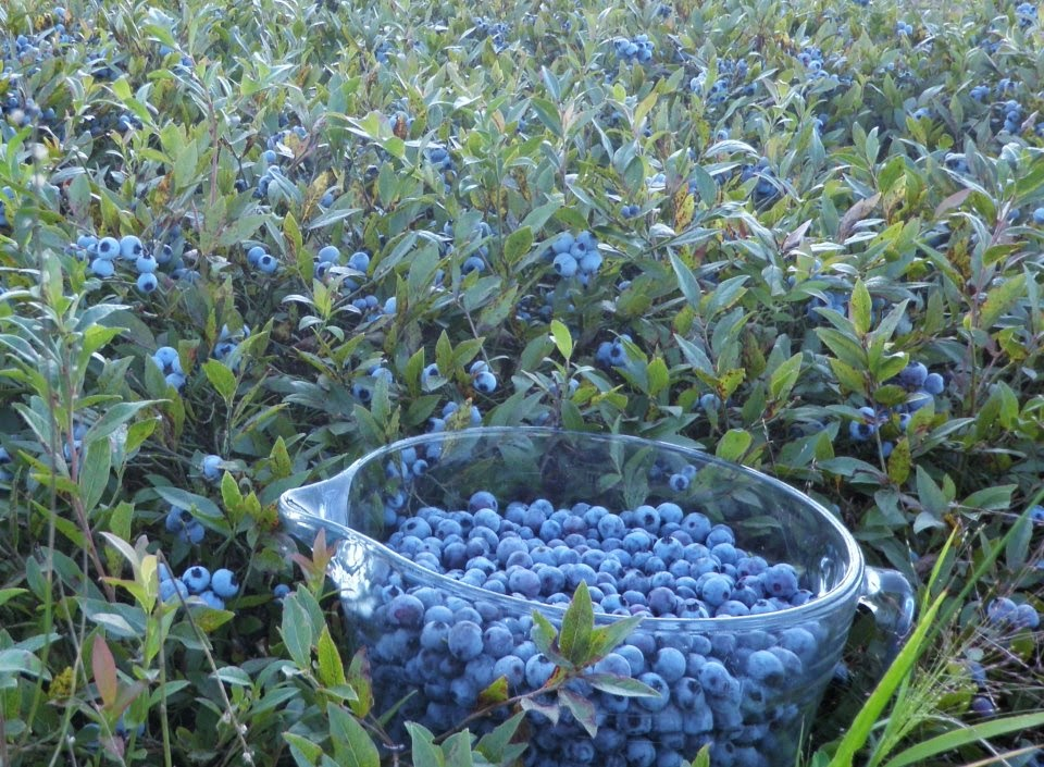 http://dianeatwood.com/catchinghealth/where-you-can-pick-blueberries-in-maine/