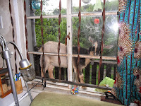 Nigerian Dwarf Goat on windowsill looking inside