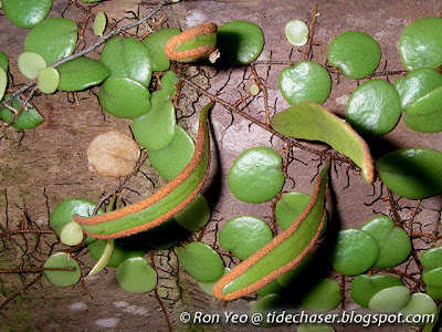Dragon's Scale Fern (Pyrrosia piloselloides)
