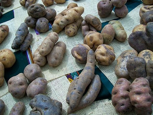 Potatoes native to the high Andes come in many shapes, sizes, and colors (Credit: Edgar Amador Espinosa Montesinos via Wikimedia Commons) Click to enlarge.