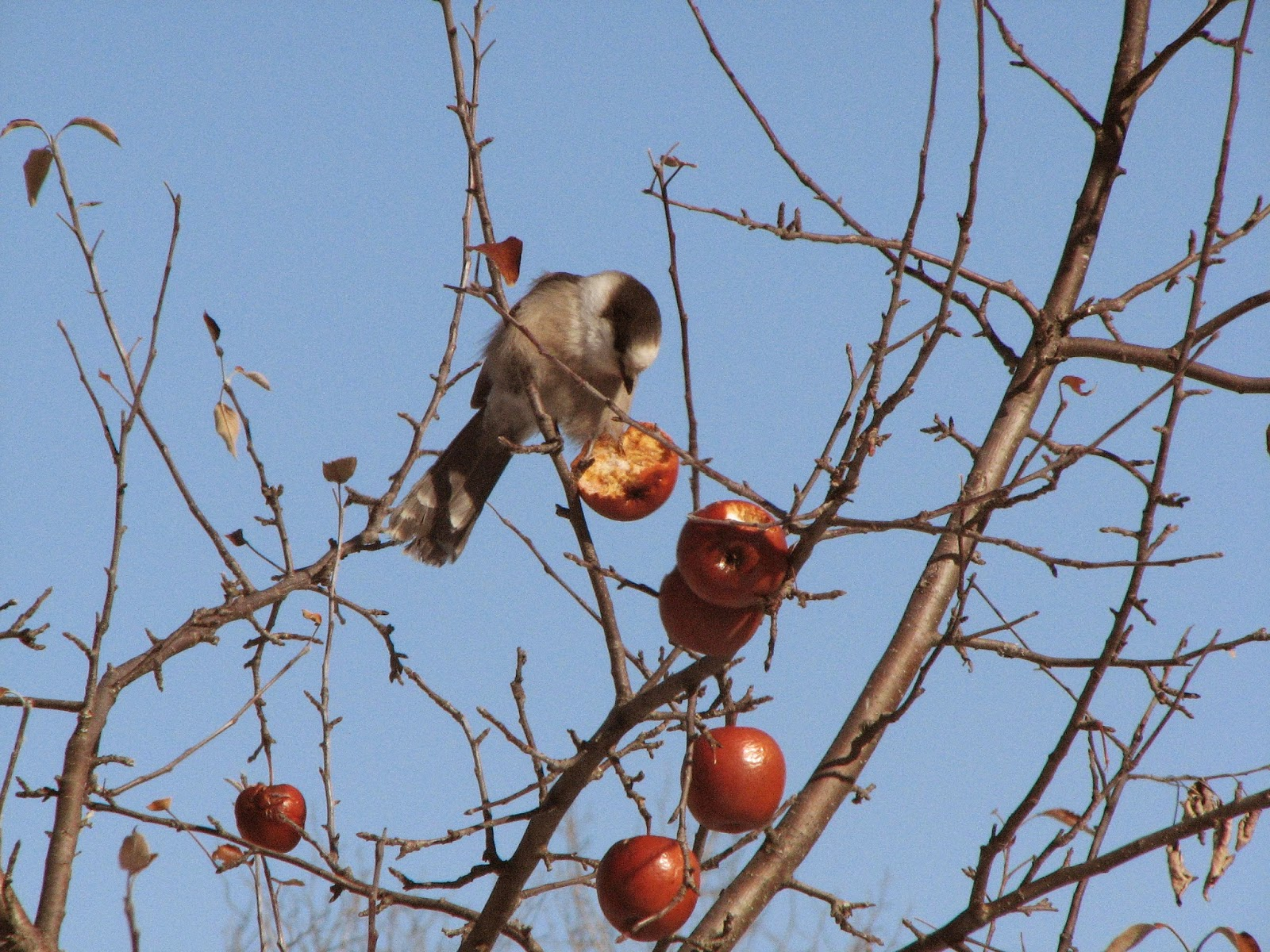 Ely Minnesota winter gray jay eating frozen apple.