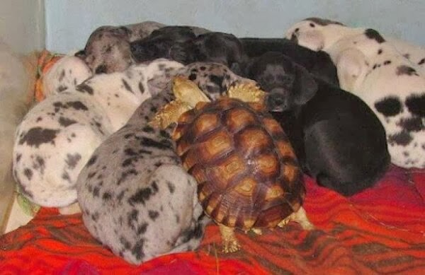 Funny animals of the week - 28 February 2014 (40 pics), turtle sleeping with puppies