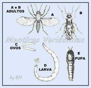 Ciclo Reprodutivo do maruim, o mosquito pólvora
