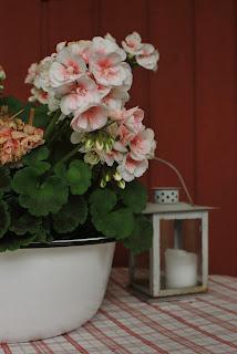 Vaaleanpunainen pelargonia emalisessa pesuvadissa