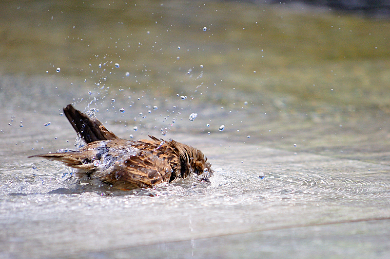 Little bathing sparrow
