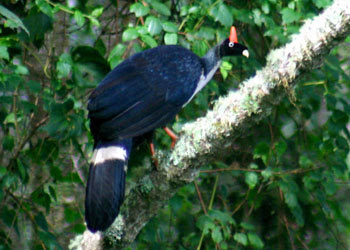 Horned Guan Birds Photos 3