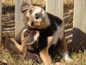 Como eliminar pulgas en perros y casa aprender a cuidar - Pulgas en casa sin animales ...