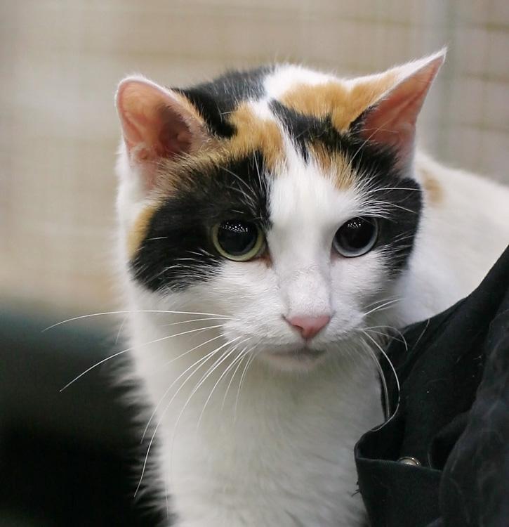 Asian Short Tail Cats