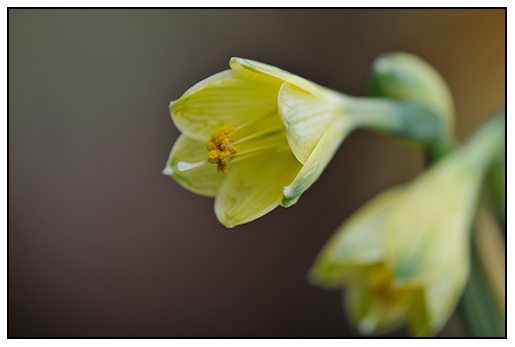 Stenomesson variegatum yellow formal dress