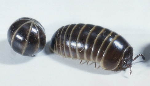 how to get rid of woodlice in my garage