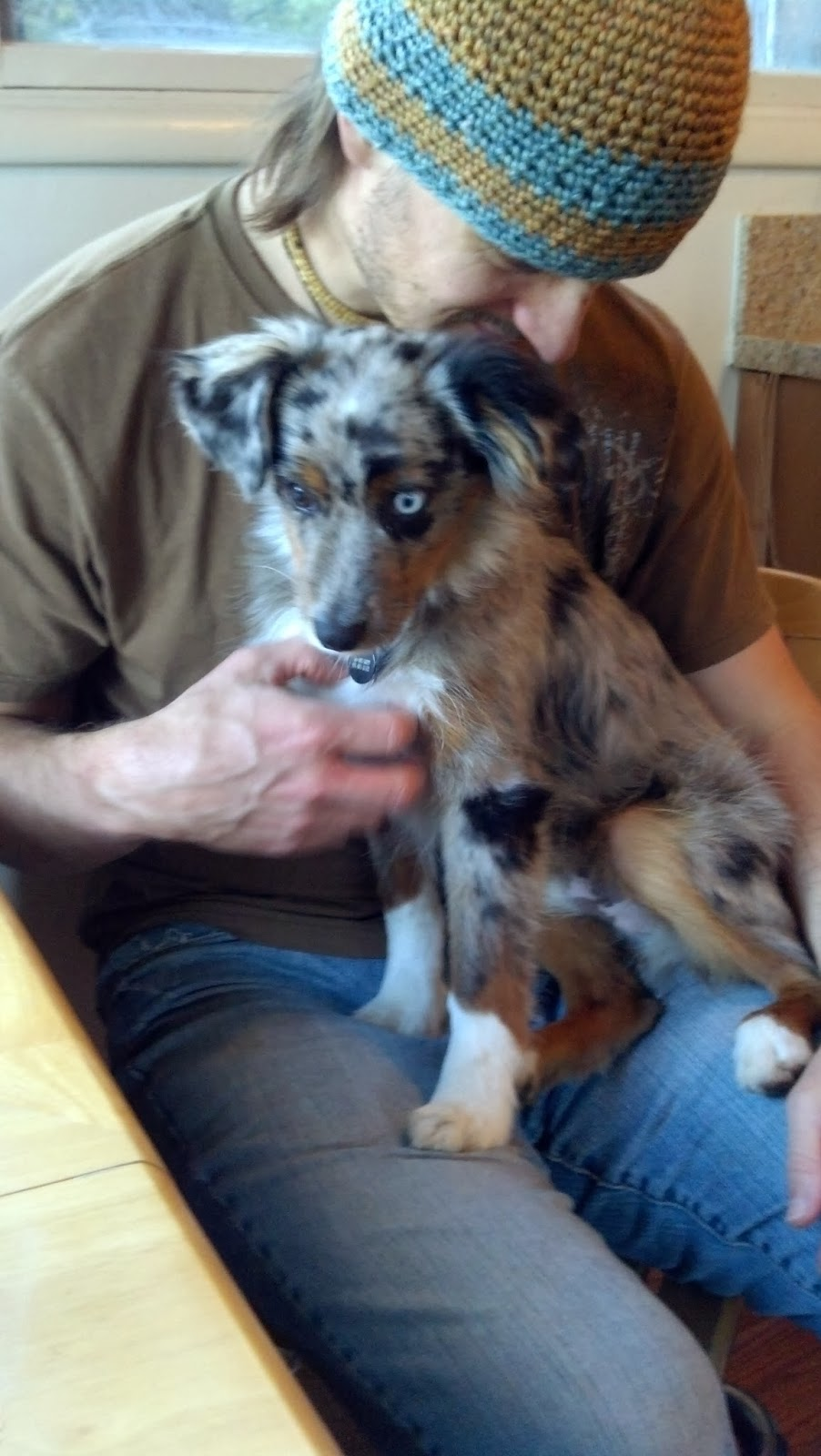 Toy australian shepherd full grown