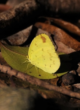Common Grass Yellow Butterfly Eurema hecabe phoebus