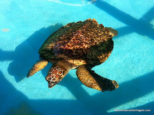 Tartaruga de Pente - Projeto Tamar Florianópolis