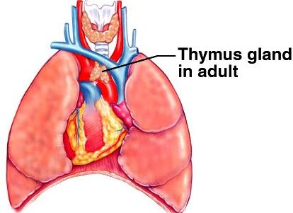 info body parts: the thymus gland., Cephalic Vein