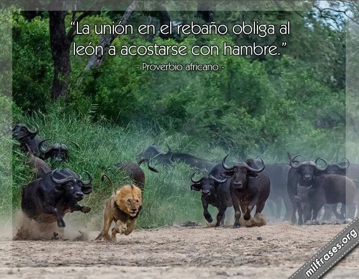 La unión en el rebaño obliga al león a acostarse con hambre. frases, dichos, refranes y Proverbios africano