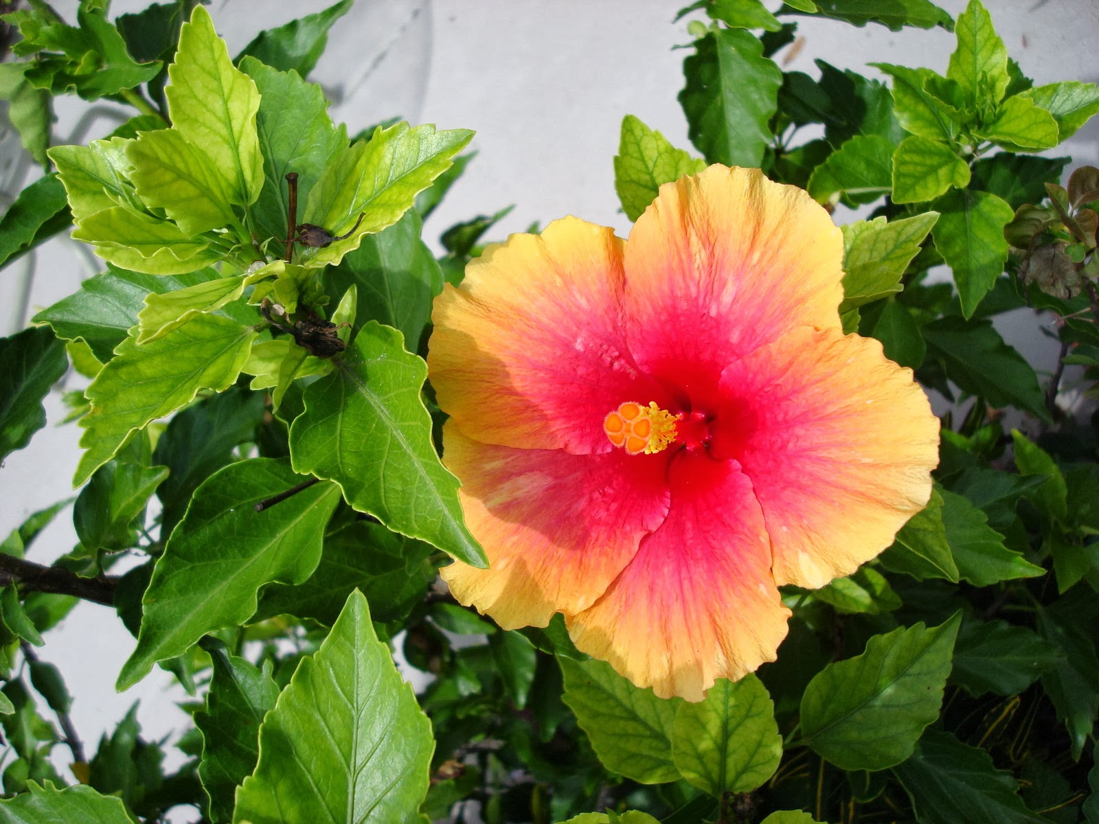 how to eat hibiscus flowers