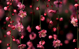 Pink Cherry Blossoms Hanging Branchs HD Wallpaper