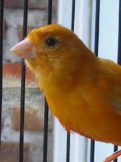 Blog ini dibuat agar memudahkan para penghobi Burung Kenari untuk