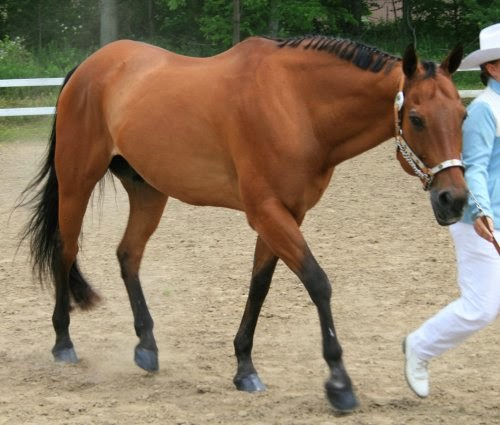Light Bay Horses picture 2