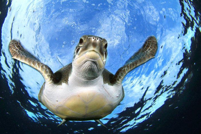 Turtles swimming in the water of the Canary Islands