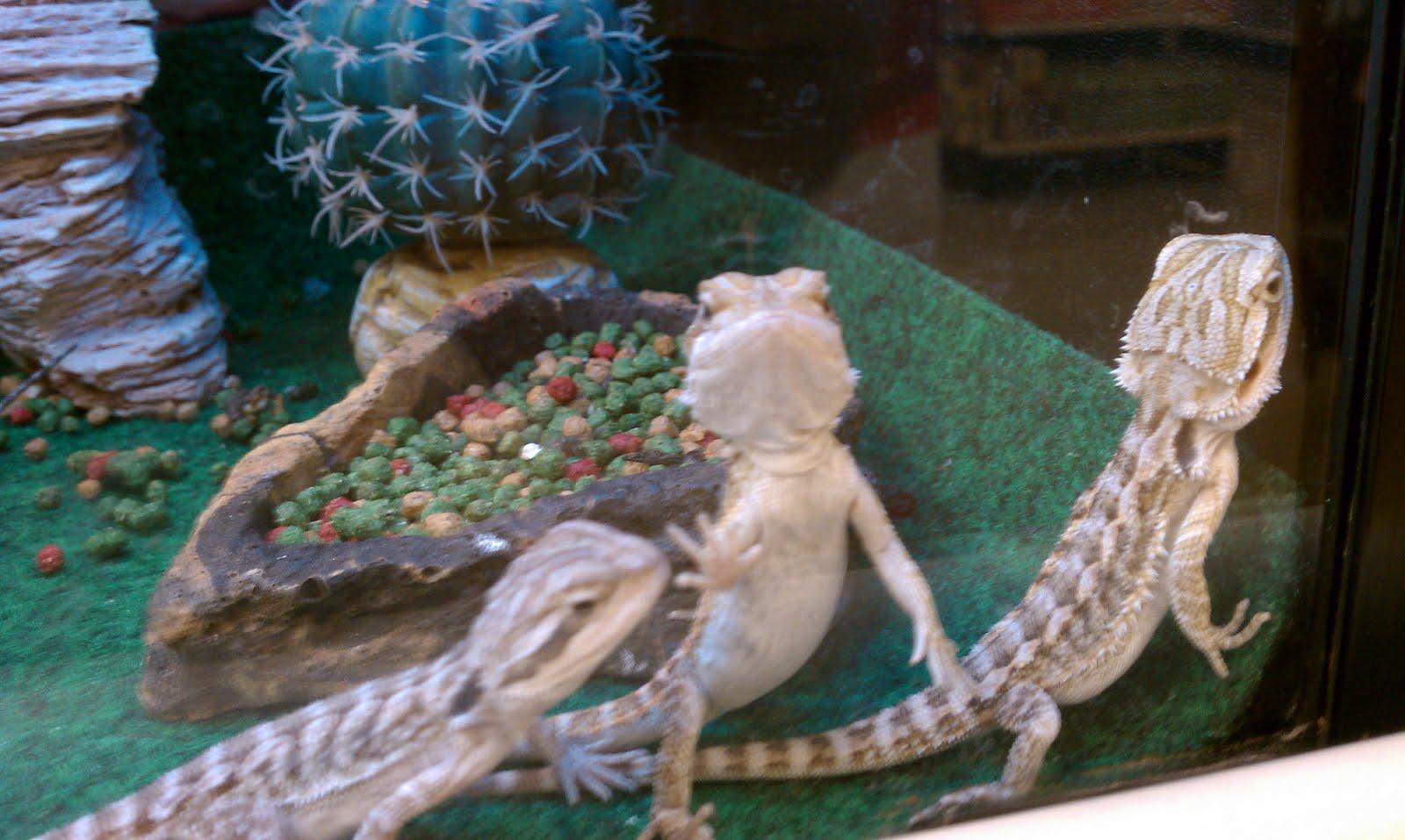 Reptile Starter Kits Bearded Dragon amp Turtle Habitat Kits