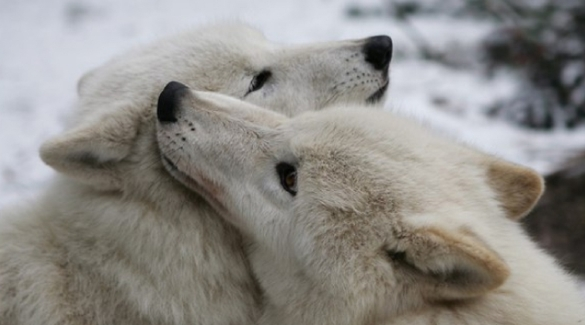 love quotes for her on valentine's day - White Wolf Wolf Love A Valentine s Day Wolf Love Story