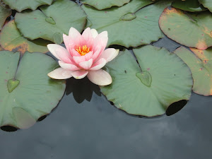 pink pond lily.. wales