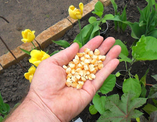 17.05. По просьбе друзей сообщаю, что посеял кукурузу. Сорт Тройная Сладость.