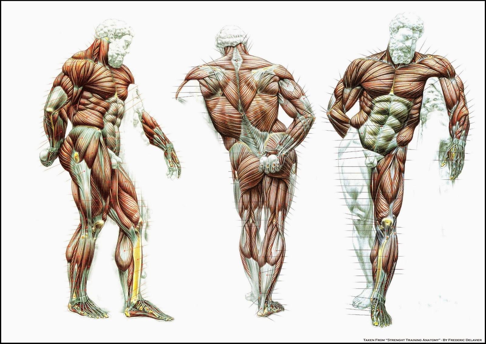Anatomia Masculina / male anatomy   khius