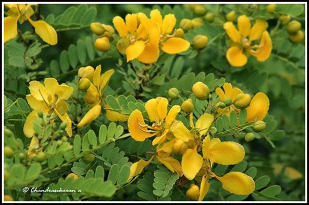 Tangedu  Flower -Cassia Auriculata-Telangana State Flower